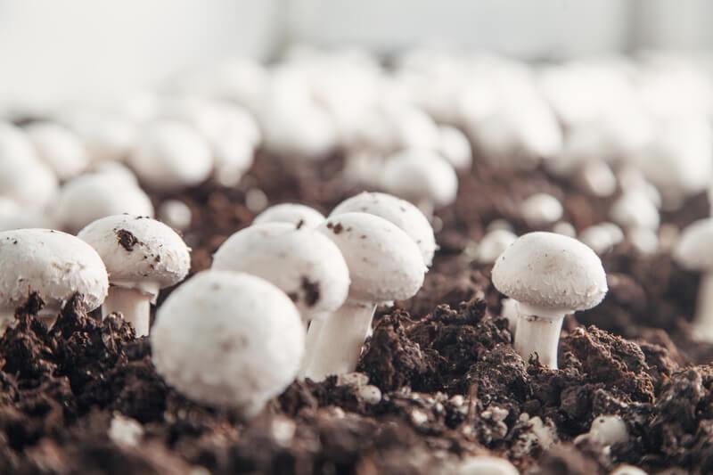 champignons kweken
